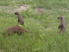 African Safari Planner  -  Kruger Park Safaris, Banded Mongooses