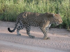 African Adventure Safaris  -  Sabi Sands Leopard