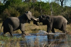 African Adventure Safaris  -  Khwai River Elephants at play