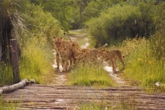 Destination Botswana  -  Moremi Lioness and Cubs