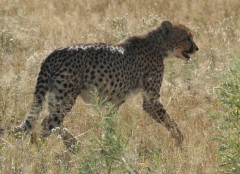 Destination Zambia  -  Kafue National Park, Cheetah
