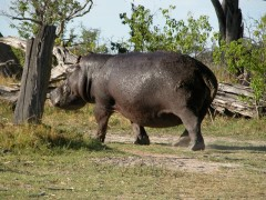 Destination Zambia  -  Lower Zambezi, Roaming Hippo