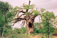 Destination Zimbabwe  -  Giant Baobab