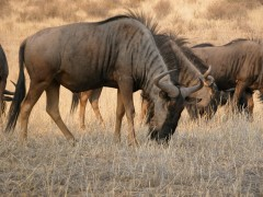 Destination Zimbabwe  -  Hwange National Park, Wildebeest