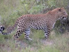 leopard-1-londolozi_1