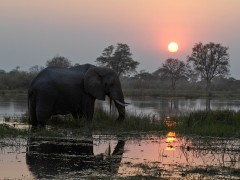 Botswana Widlife Safaris  -  Khwai River, Elephant Limelight