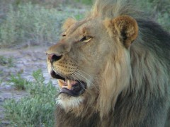 Botswana Widlife Safaris  -   Chobe Predator