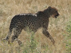Zambia Wildlife Safaris  -  Kafue Cat