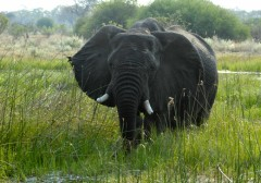 Zambia Wildlife Safaris  -  Swamp Elephant