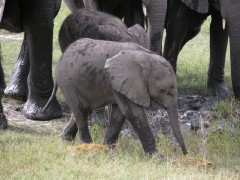 Tanzania Wildlife Safaris  -  Baby Elephant Walk