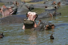 Tanzania Wildlife Safaris  -   Hippo Humour