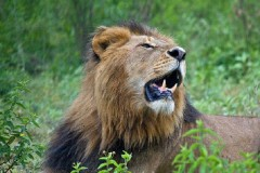 Tanzania Wildlife Safaris  -  Lion in Love