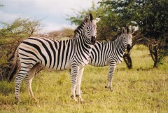 Walking Safaris  -  Zebras