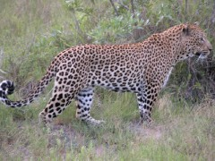 Zimbabwe Wildlife Safaris  -  Dawn-hunting Leopard