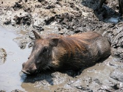 Zimbabwe Wildlife Safaris  -  Warthog in Cool Mud Haven