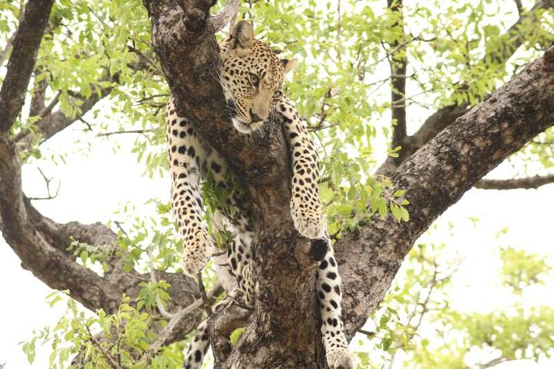 African Widlife Safaris  -  Kruger Park Leopard on Lunch