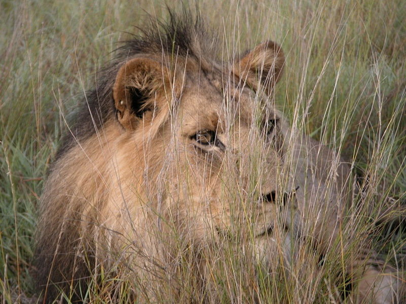 African Wildlife Safaris  -  Central Kalahari Leisure Lion