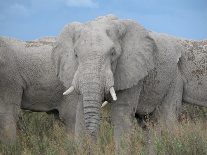 African Wildlife Safaris  -  Nxai Pan White Elephants