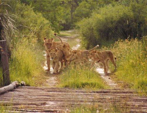 10 Day Moremi, Savute & Chobe Mobile Safari Package